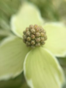 Dogwood blossom from our front garden
